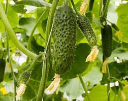 Семена огурца SV4097CV F1, 1000 шт, Seminis