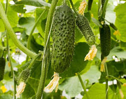 Семена огурца SV4097CV F1, 250 шт, Seminis
