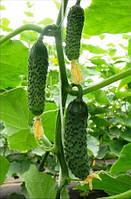Семена огурца SV3506CV F1, 1000 шт, Seminis (Семинис), Голландия