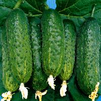 Семена огурца Мадита F1 (Madita), 250 шт, seminis (Семинис), Голландия