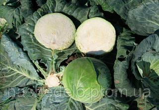 Семена капусты б/к Капорал F1 2500 семян Clause