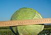 Семена капусты б/к Марабу F1 2500 семян Clause