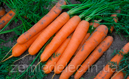 Семена моркови Сатурно F1 25000 семян Clause