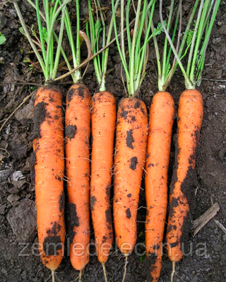 Семена моркови Майор F1 25000 семян Clause