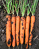 Семена моркови Майор F1 100000 семян Clause