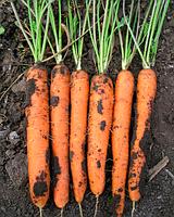 Майор Ф1 100 000 сем. морковь Clause