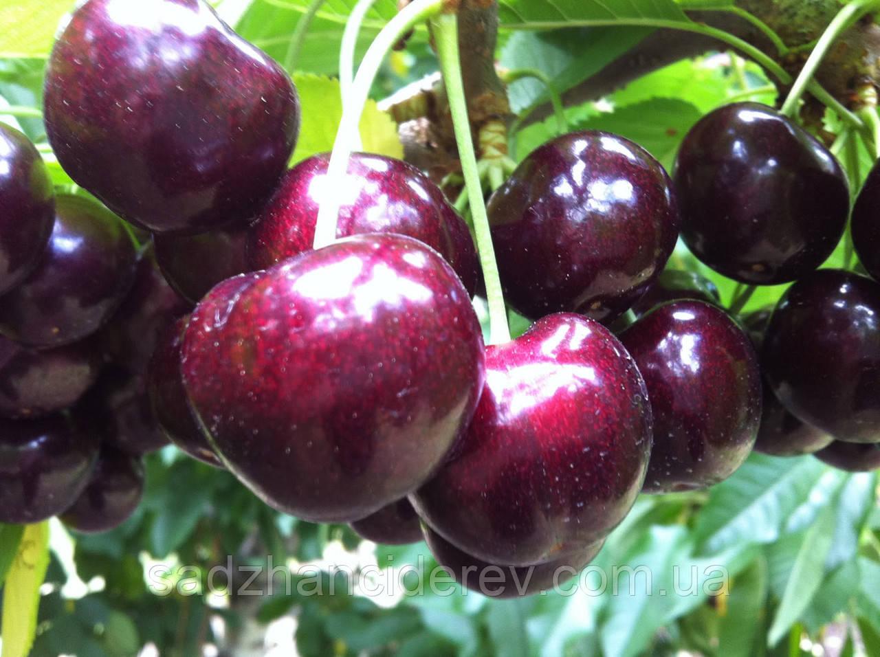 Саджанці черешні Стакато (Staccato)