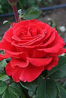 Эль Торо Саженцы чайно-гибридных роз