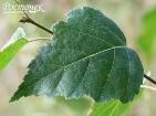 Береза повислая листья лекарственные травы