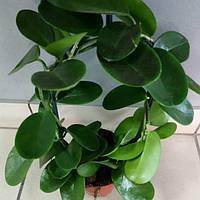 Горшечное растение Хоя
