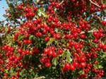 Боярышник кроваво-красный ягоды