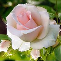 Роза Вивальди (Vivaldi) чайно-гибридная