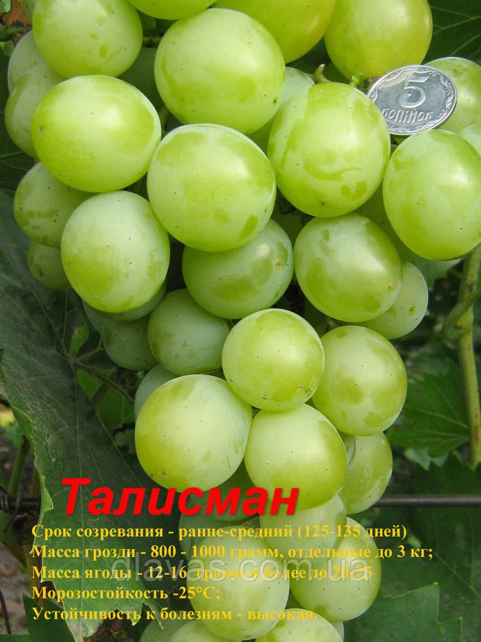 Виноград столовый Талисман (Кеша-1, Кеша мускат, Супер Кеша, Кеша-2) сорт ранний.