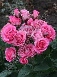 Саженцы роз спрей и патио