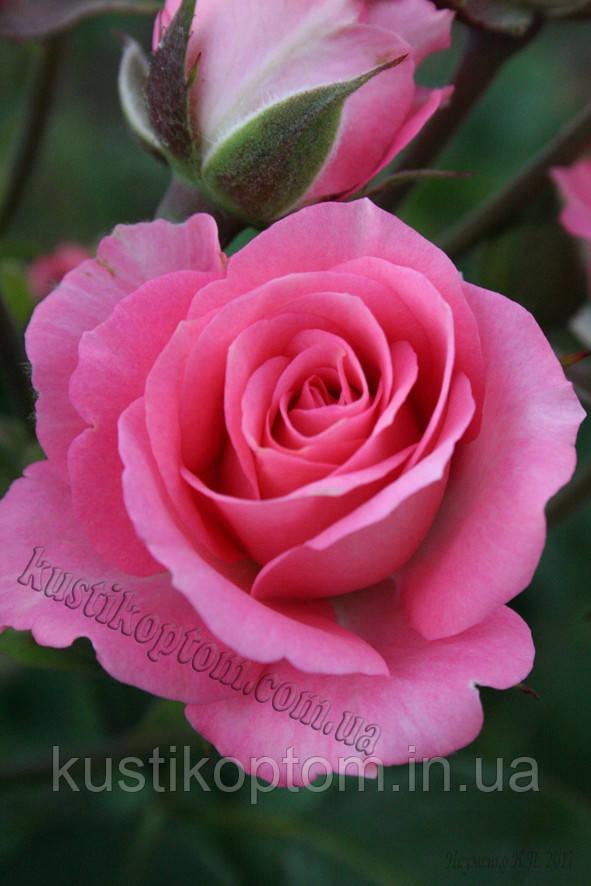 Розовий Спрей
