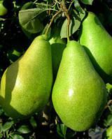 Саджанці груші Амфора (Amfora)