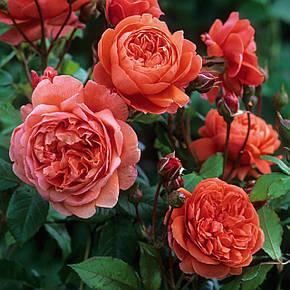 Роза Саммер Сонг (Summer Song) Анг., фото 2