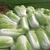 100Pcs китайские Вкусные Семена капусты Питательные зеленых овощей Семена Brassica Растения для сада