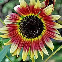 40шт Смешанные Цветные Семена подсолнечника Семена Редкие Бонсай цветник растение в горшке