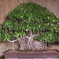 150шт Бонсай Семена Плач Фиг - Фикус benjamina Главная Бонсай Растение Зеленое дерево