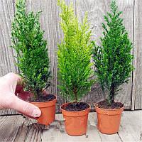 Egrow 50 PCS Italian Cypress Tree Семена Cupressus Sempervirens Главная Сад Посадка бонсай Семена