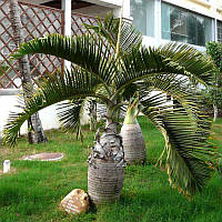 Egrow 20 шт Экзотическая бутылка Palm Семена Бонсай тропическое декоративное дерево Растение Семена Сад Растениеing