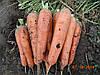 Морковь Тема 250 000 сем. Ерсте Заден