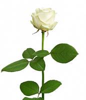 Роза украинская сорт Аваланж (Avalanche) оптом