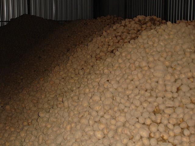 Качество семенного картофеля – залог будущего успеха урожая картофеля.