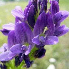 Люцерна посевная, магниченная семена, на сидераты — восстанавливает бедные почвы