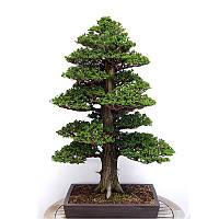 20шт Семена японского кедра-семиллас бонсая Редкие семена деревьев для домашнего сада