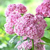 Egrow 50шт Ваниль Клубника Гортензия Семена цветов посадка цветов Бонсай Дерево Семена