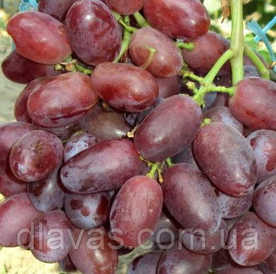 Виноград столовый Андрюша