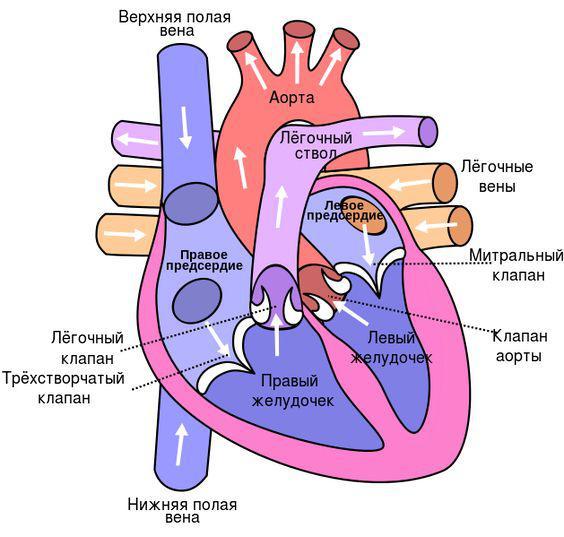 Сердце картинка 1.