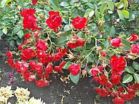 Роза        Скарлет Мейландина