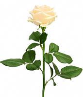 Роза украинская сорт Пич Аваланж (Peach Avalanche) оптом