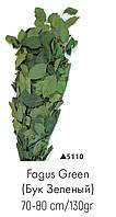 Бук зелёный, А: 5110
