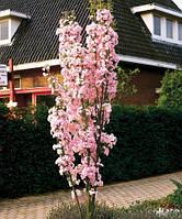 Сакура колоновидная  Амоногава ( привитая саженцы 100-120см)