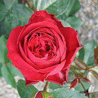 Роза плетистая   Ред Эден Розе