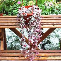 Egrow 100Pcs / Сумка Ceropegia Succulent Семена Сад Крытый Редкий Цветочный бонсай Растение Семя