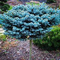 Egrow 50Pcs / Pack Синяя ель Семена Evergreen Picea Pungens Glauca Сад Растение Дерево Семена