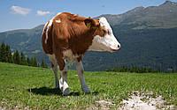 Купить защищенный жир 100%, для коров, Чехия