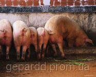 БВМД для свиней, быстрый рост, Швейцария