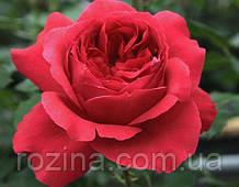 РОЗА  Цветелина Романтика