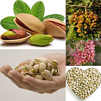 Egrow 5Pcs / Pack Pistachios Семена Сад На открытом воздухе Дерево с ореховыми деревьями Семена Посадка