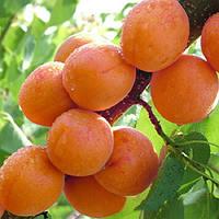 Egrow 2Pcs / Pack Абрикосовое дерево Семена Сад Зеленые растения сада с фруктовыми деревьями Семена