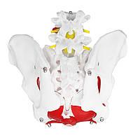 Медицинская Анатомический женский таз Модель Съемные органы Размер жизни Женский таз Медицинская Модель