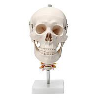 Жизнь Размер Человек Для взрослых Череп Модель шейного отдела позвоночника Модель скелета Анатомия Медицинская Модель