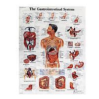 Пищеварительная система Анатомия человека Учебный плакат 60x80cm Медицинская Тело человека науки