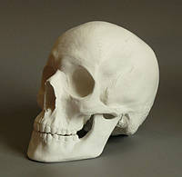 Череп анатомический для рисунка в классе ИЗО, 20х17х15 см